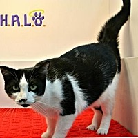 Domestic Shorthair Cat for adoption in Sebastian, Florida - Ebony