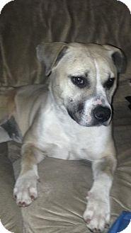 American Bulldog/American Pit Bull Terrier Mix Puppy for adoption in Las Vegas, Nevada - Ava