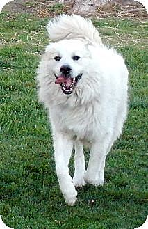 Great Pyrenees Dog for adoption in Bloomington, Illinois - Max (sanctuary resident)