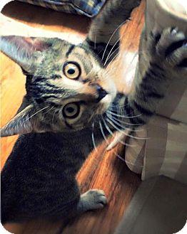 Domestic Shorthair Kitten for adoption in Huguenot, New York - Carlotta