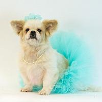 Adopt A Pet :: Bella/Pekingese - Jacksonville, FL