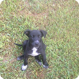 Great Dane/Labrador Retriever Mix Puppy for adoption in Austin, Texas - Grayson