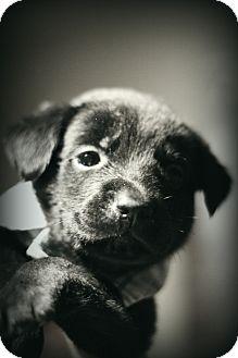 Labrador Retriever Mix Puppy for adoption in Fredericksburg, Virginia - Moses