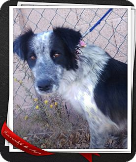 Border Collie Mix Dog for adoption in Apache Junction, Arizona - Fergie