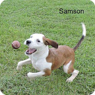 Boxer Mix Puppy for adoption in Slidell, Louisiana - Samson