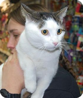 Domestic Shorthair Cat for adoption in Brooklyn, New York - Yoshi