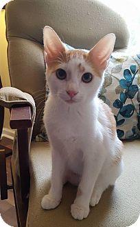 Domestic Shorthair Cat for adoption in Huntsville, Alabama - Hobbs