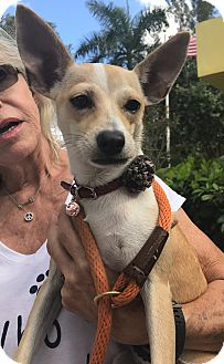 Chihuahua/Jack Russell Terrier Mix Puppy for adoption in Boca Raton, Florida - Brianna