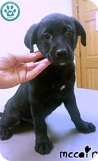Labrador Retriever Mix Puppy for adoption in Kimberton, Pennsylvania - McCain