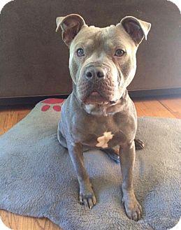 Pit Bull Terrier Mix Dog for adoption in Marietta, Georgia - Ernie