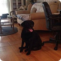 Adopt A Pet :: Curley (COURTESY POST) - Baltimore, MD