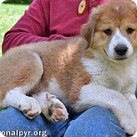 Adopt A Pet :: Poppy in NY - new pup! - Beacon, NY