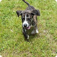 Adopt A Pet :: Missy - Waterbury, CT