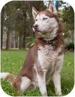 Siberian Husky Dog for adoption in Houston, Texas - Liza