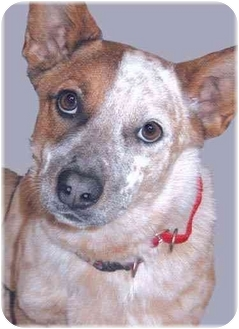 Australian Cattle Dog Mix Puppy for adoption in Grass Valley, California - Rusty