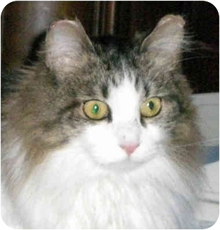 Domestic Longhair Cat for adoption in Troy, Michigan - Masha