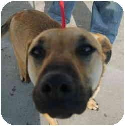 Shepherd (Unknown Type)/Labrador Retriever Mix Dog for adoption in Avon, New York - Aubrey