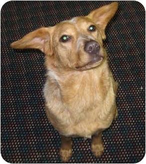 Australian Cattle Dog/Blue Heeler Mix Dog for adoption in Overland Park, Kansas - Joanie