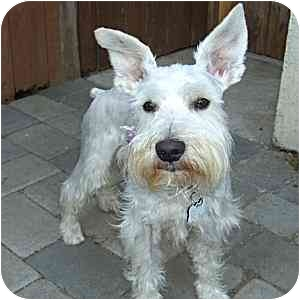 Schnauzer (Miniature) Dog for adoption in Redondo Beach, California - Abbott