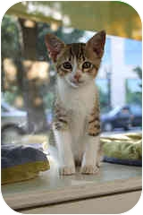 Domestic Shorthair Kitten for adoption in Portland, Oregon - Toblerone