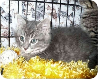 Domestic Shorthair Kitten for adoption in Colmar, Pennsylvania - Dell
