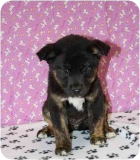 Shepherd (Unknown Type)/Boxer Mix Puppy for adoption in Broomfield, Colorado - Big Hunk