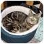 Photo 2 - Domestic Shorthair Cat for adoption in Marion, North Carolina - Tex