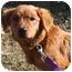 Photo 2 - Golden Retriever Mix Dog for adoption in Portland, Maine - Samson