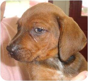 Labrador Retriever/Border Collie Mix Puppy for adoption in Old Bridge, New Jersey - Beamer