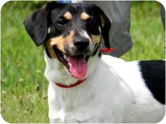 Beagle/Hound (Unknown Type) Mix Puppy for adoption in St. James, Missouri - Pablo