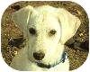 Labrador Retriever Mix Puppy for adoption in Marlton, New Jersey - Harley