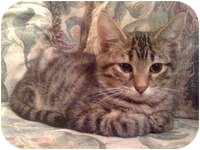 Domestic Shorthair Kitten for adoption in Tampa, Florida - Jackson