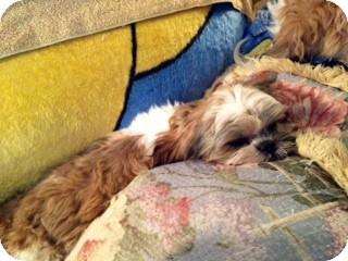 Shih Tzu Puppy for adoption in ST LOUIS, Missouri - Mani (MAH nee)
