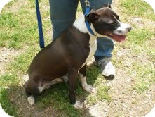 American Pit Bull Terrier Mix Dog for adoption in Dundas, Virginia - Dusty - Courtesy Post