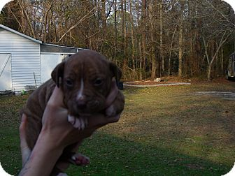 American Pit Bull Terrier/Australian Shepherd Mix Puppy for adoption in Fort Valley, Georgia - Rilea