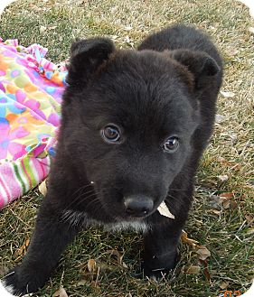 Shepherd (Unknown Type) Mix Puppy for adoption in Westminster, Colorado - Bubbles