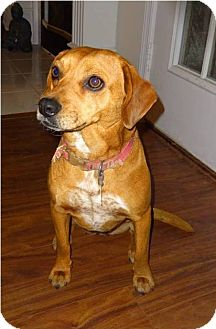 Jack Russell Terrier Mix Dog for adoption in Huntsville, Alabama - Pumpkin