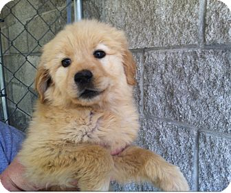 Golden Retriever/Poodle (Standard) Mix Puppy for adoption in Hainesville, Illinois - Quinn