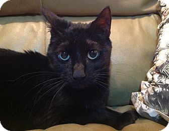 Domestic Shorthair Cat for adoption in Victoria, British Columbia - Raven