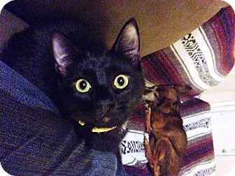 Domestic Shorthair Kitten for adoption in Huntsville, Alabama - Patrick