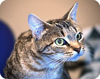 Domestic Shorthair Cat for adoption in Wilmington, Delaware - Rita