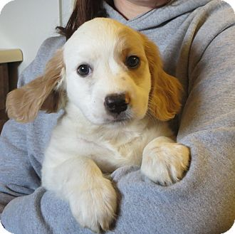 Cocker Spaniel/Brittany Mix Puppy for adoption in Allentown, Pennsylvania - Damon