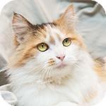 Domestic Longhair Cat for adoption in Hillside, Illinois - Sylvia
