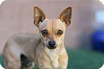 Chihuahua Mix Dog for adoption in Coronado, California - Pepperoni