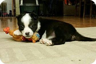 Boston Terrier/Border Collie Mix Puppy for adoption in Saskatoon, Saskatchewan - Mira