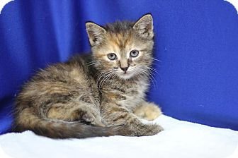 Domestic Shorthair Kitten for adoption in Midland, Michigan - Gwenora