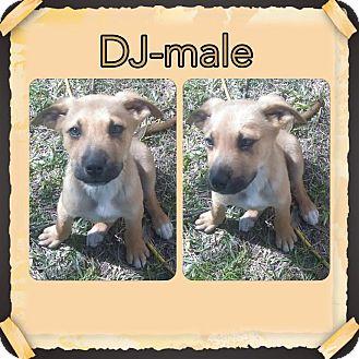 Australian Shepherd Mix Puppy for adoption in East Hartford, Connecticut - DJ meet me 4/1