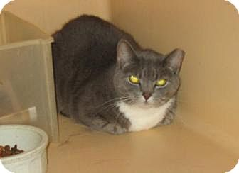 American Shorthair Cat for adoption in Brooklyn, New York - Baby