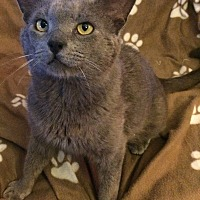 Russian Blue Cat for adoption in Rochester, Michigan - Crowley