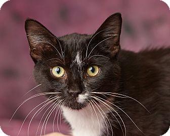 Domestic Shorthair Cat for adoption in Harrisonburg, Virginia - William Catner